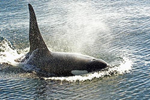 Orca off British Columbia
